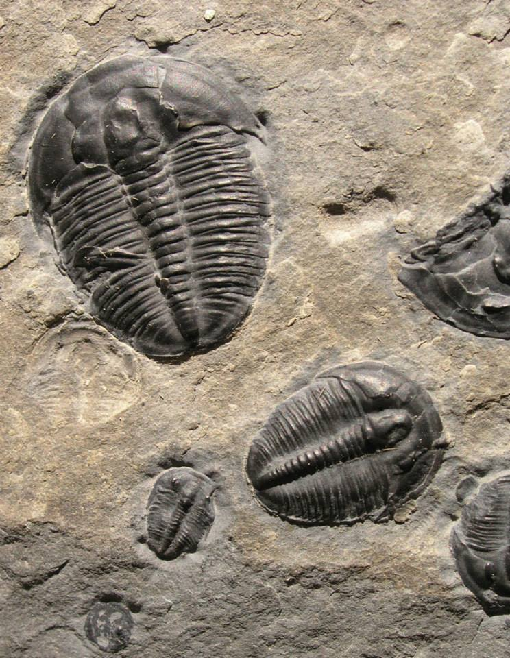 Trilobite fossils located east of Notch Peak in the House Range