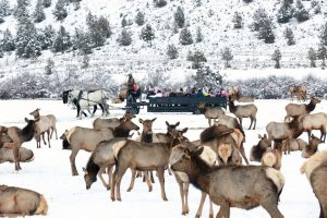 Hardware Ranch provides an annual viewing opportunity for families to observe local elk